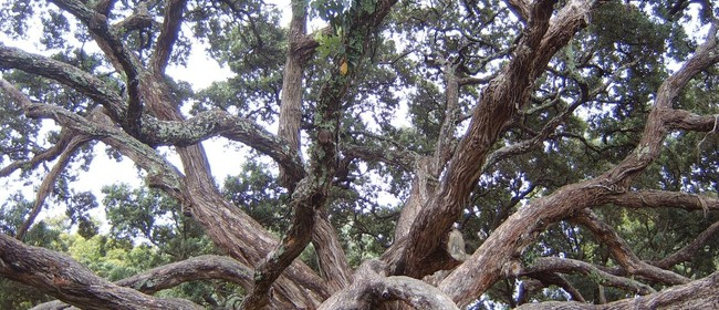 Myrtle Rust and Other Threats to Auckland's Heritage Trees