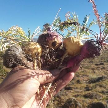 Maca - The Incan Medicine for Fatigue and Balance
