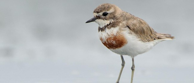Banded Dotterel Survival on Beaches