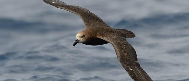 Seaweek - Grey-faced Petrels on the West Coast