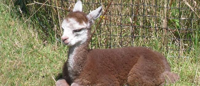 Blair-Athol Alpaca Farm Open Day