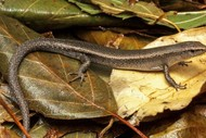 Blenheim Forest and Bird Talk - Plague Skinks