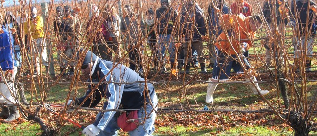 Marlborough Silver Secateurs Pruning Competition