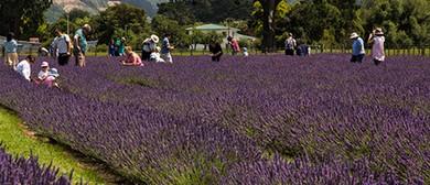 PYO Lavender in Carterton