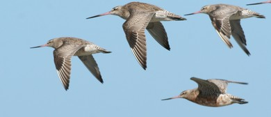 Year of the Godwit