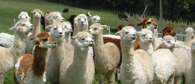 Experience The World of Alpacas