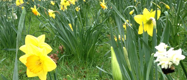 Cornwall Park Guided Daffodil Walk