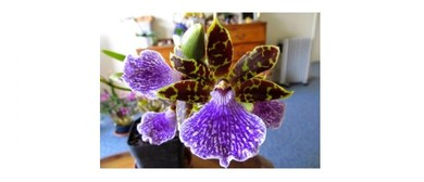 Wellington Orchid Society Spring Show