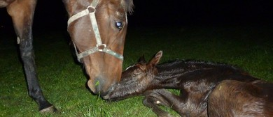 FoalEd - Intro to Foaling Seminar