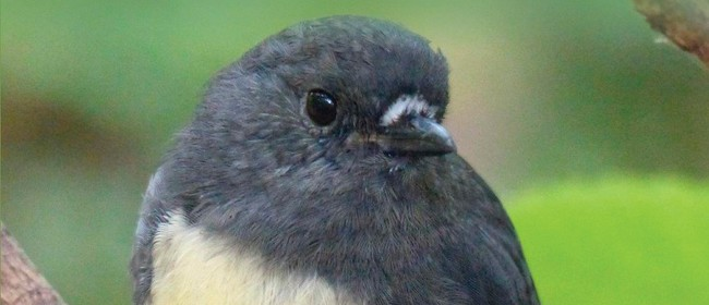 Behind the Scenes - South Island Robin Translocation