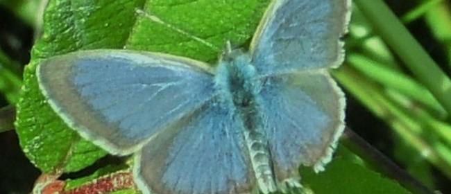 Butterflies of Kaipupu Point and Marlborough