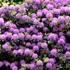 Heritage Park - Rhododendron Flowering Season