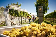 Vine to Barrel - Your Harvest Experience!