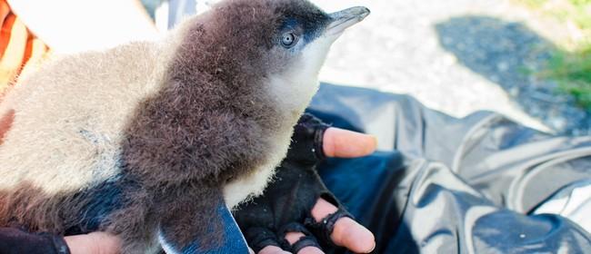 Tracking Blue Penguins Free Talk for Wild Dunedin